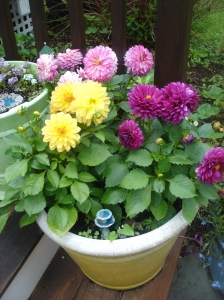 Dahlia's ~ one of my favorites